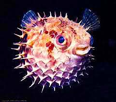 A happy puffer fish